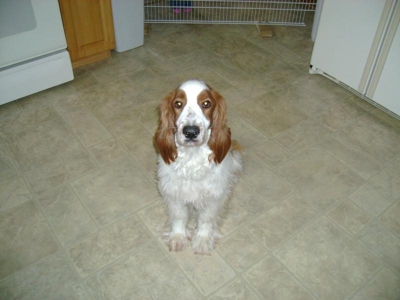 Destiny Welsh Springer Spaniels - News 2011 Welsh Springer Spaniel Adoption